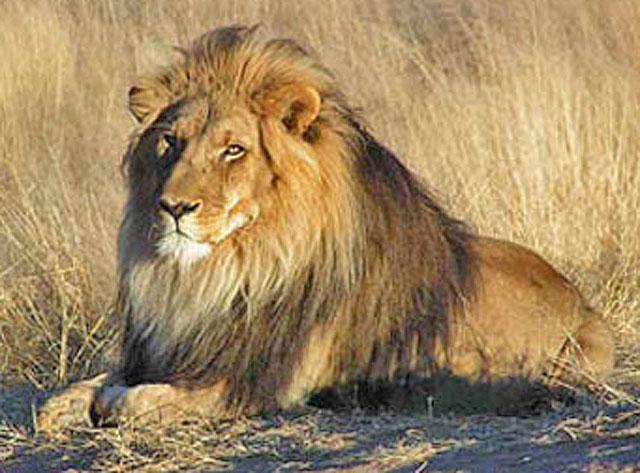 Wildmoz.com-Lion-Animals-of-the-Kruger-Park