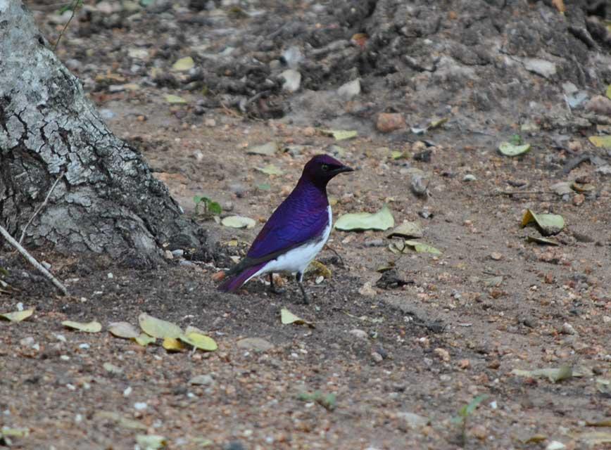 wildmoz.com-ordinary-wildlife-plum-starling