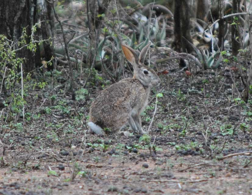 wildmoz.com-ordinary-wildlife-scrub-hare