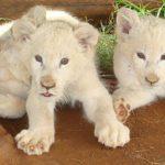 White Timbavati Lions Discovered