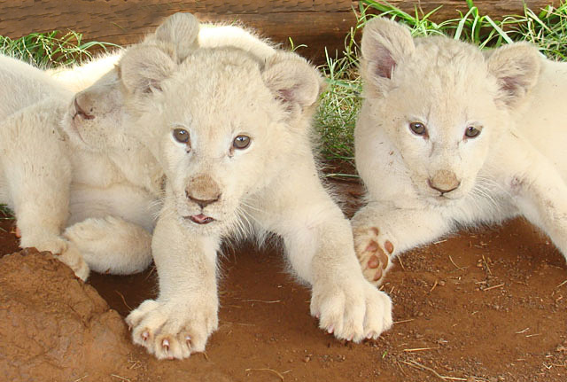 Three-White-Lion-Cubs-Wildmoz.com