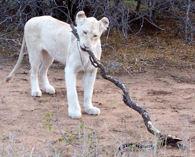 White-Lion-Adolescent-Wildmoz.com