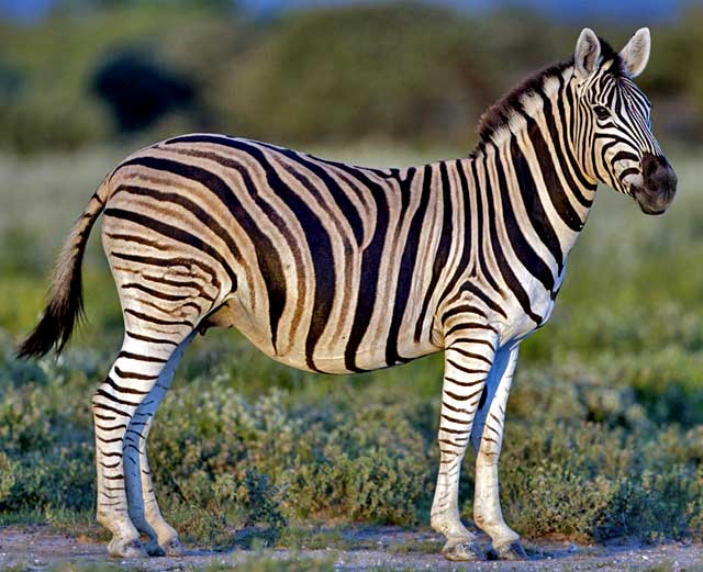 Wildmoz.com-Zebra-Amazing-Animals-of-the-Kruger