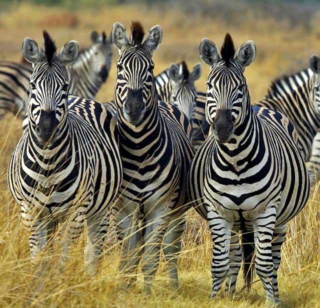 Wildmoz.com Zebra-Group-Amazing-Animals-of-the-Kruger-Park