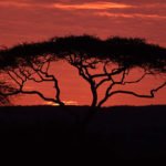 Iconic African Acacia Tree
