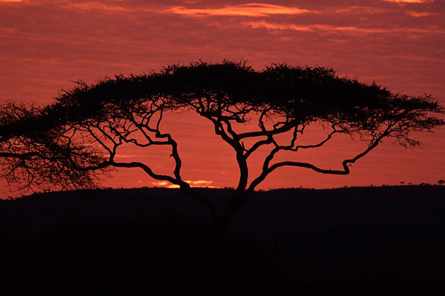 Wildmoz.com-Acacia-Tortilis-Tree