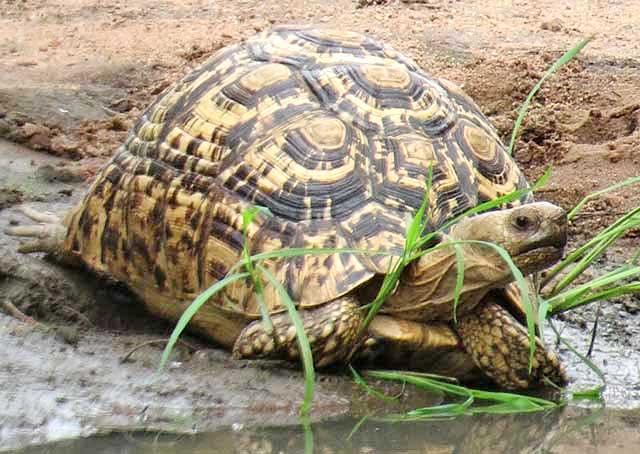 Wildmoz.com-Leopard-Tortoise-Where's-the-Banana
