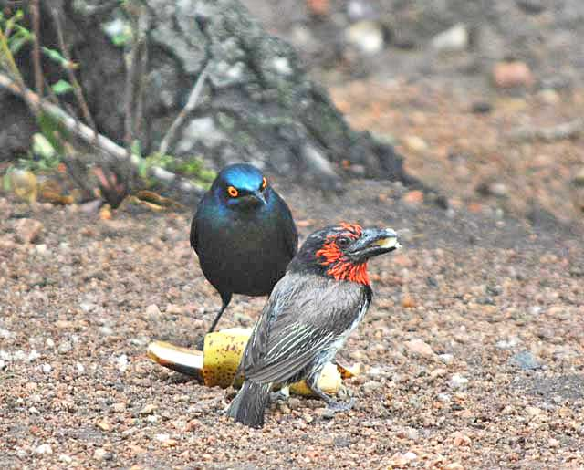 Wildmoz.com-Starling-vs-Barbet-over-banana