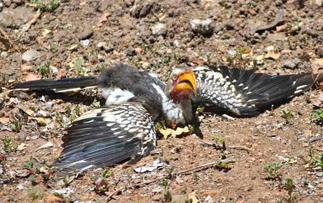 Wildmoz.com-Yellow-billed-hornbill-the-last-banana