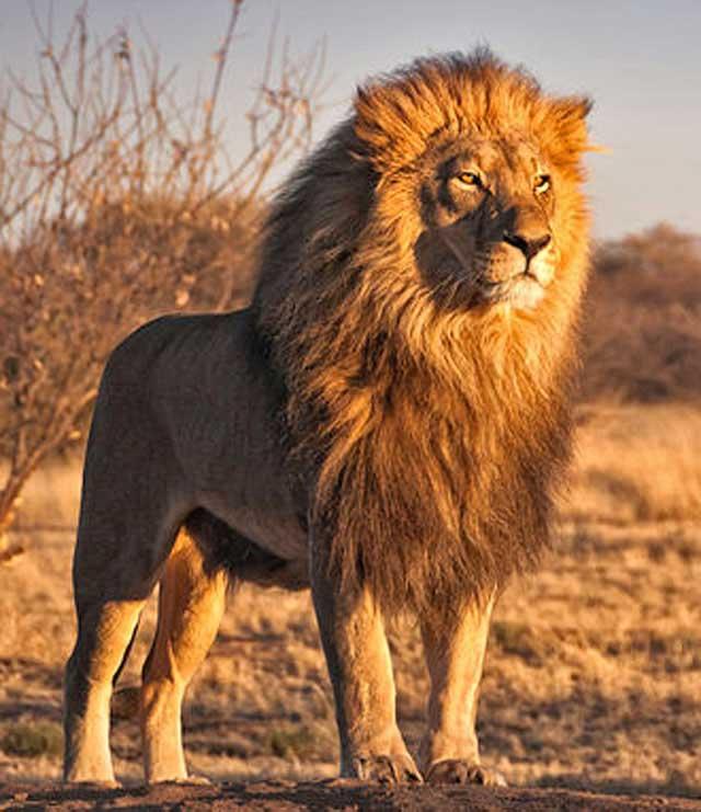 Wildmoz.com-Lion-Hunters-Lion