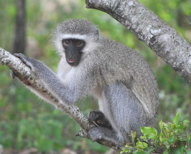 Wildmoz.com-Vervet-monkey-stealing-bananas