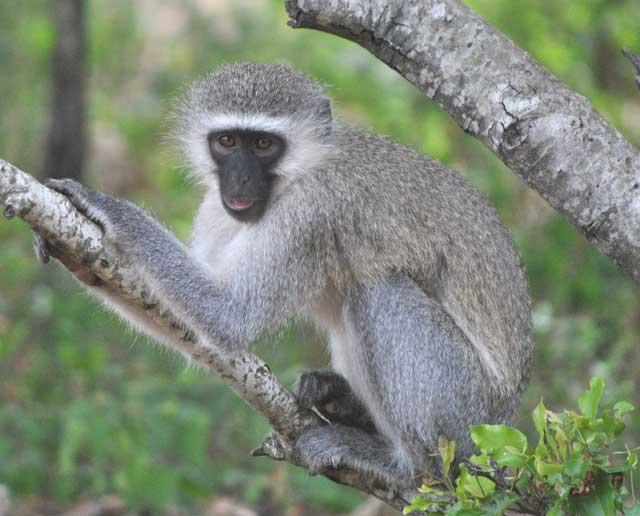 Wildmoz.com-Vervet-monkey-stealing-bananas