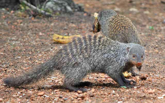 Wildmoz.com-Banded-mongoos-after-banana.