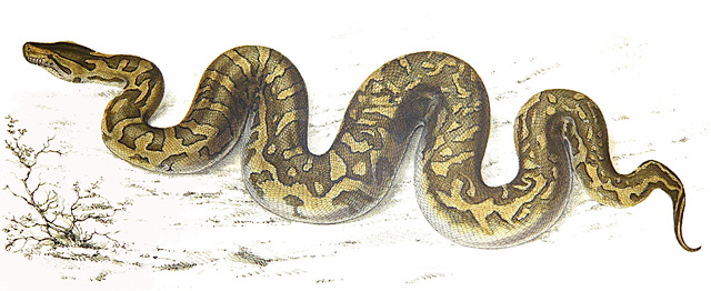 African-Rock-Python-Depiction-1840-Wildmoz.com