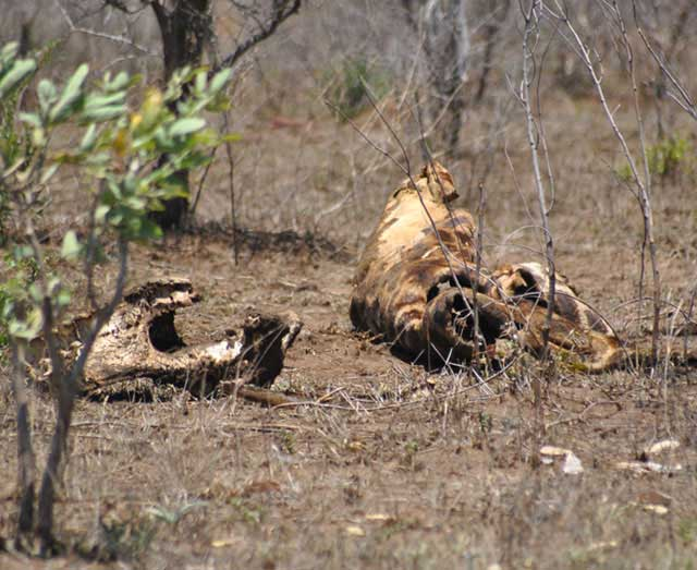 Wildmoz.com-Giraffe-Carcase-Kruger-Drought