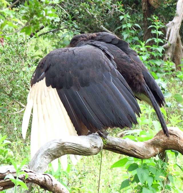 Ground-Hornbill-Spreading-Wing-Wildmoz.com-