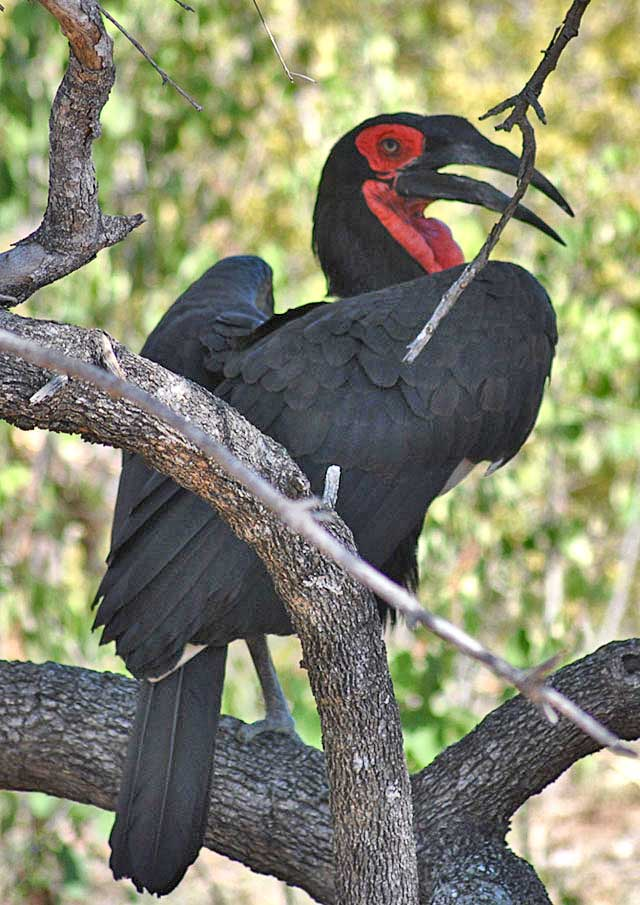 Ground-Hornbill-at-Tamboti-Tree-Wildmoz.com