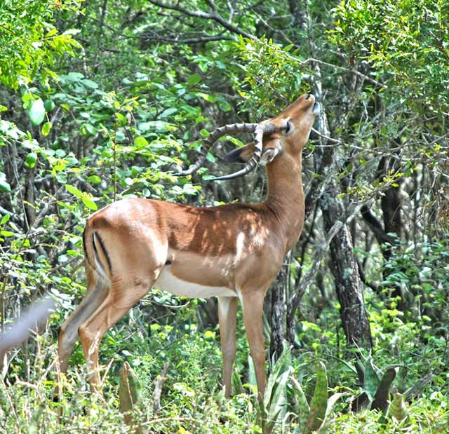 Wildmoz.com-Impala-Eating-Magic-Guarri