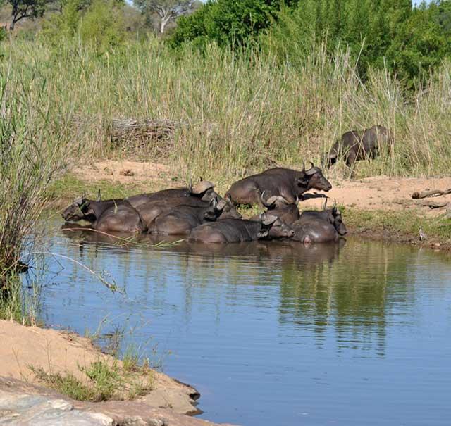 Kruger-Day-Trip-Buffalo-Bathing-Wildmoz.com