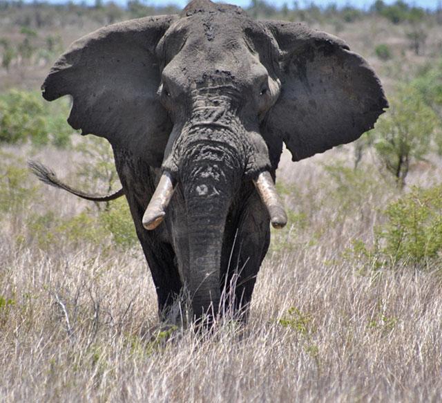 Kruger-Day-Trip-Bull-Elephant-Wildmoz.com