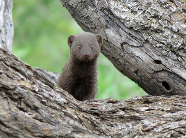 Kruger-Day-Trip-Dwarf-Mongoose-Wildmoz.com