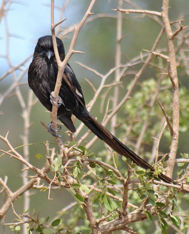 Kruger-Day-Trip-Magpie-Shrike-Wildmoz.com