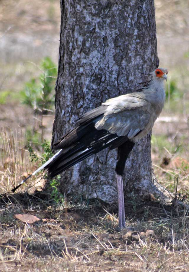 Kruger-Day-Trip-Secretary-Bird-Wildmoz.com