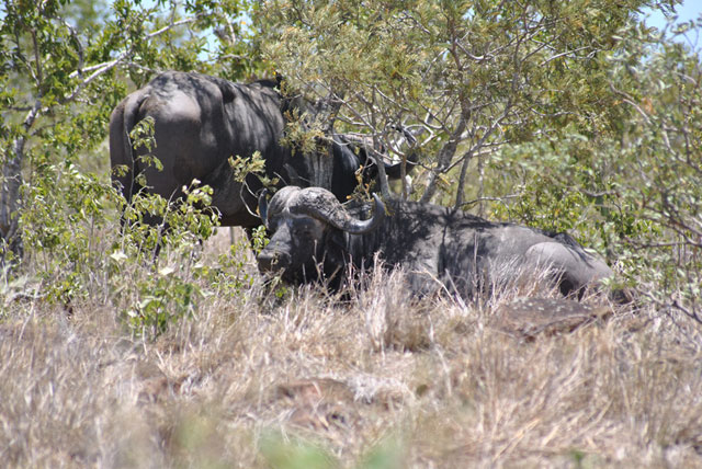 Kruger-Day-Trip-Two-Cape-Buffalo-Wildmoz.com
