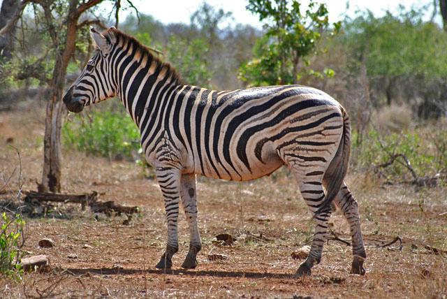Kruger-Day-Trip-Zebra-Wildmoz.com