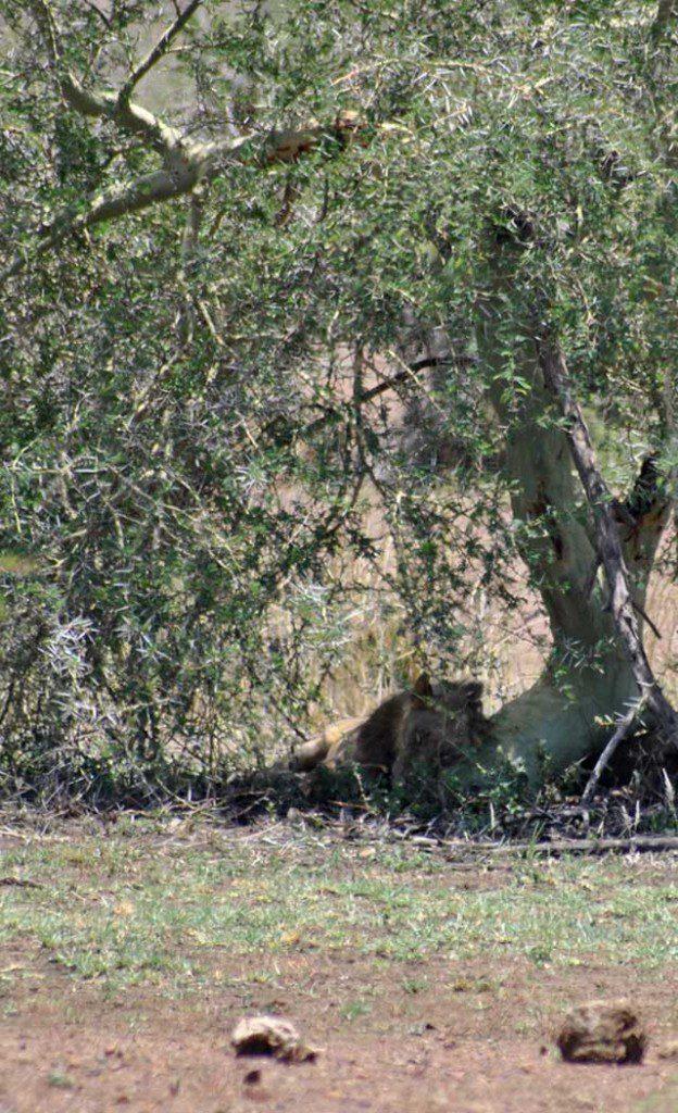 Kruger-day-trip-Lion-under-fever-tree-Wildmoz.com