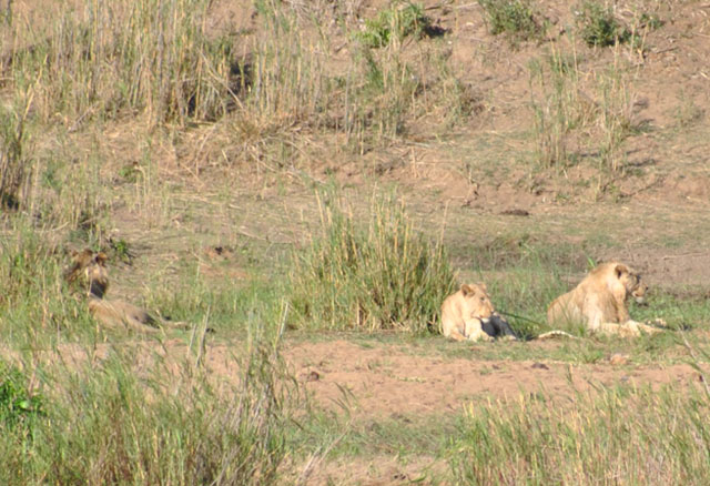 Wildmoz.com-Lions-on-a-Sabi-River-Island-Kruger-Drought