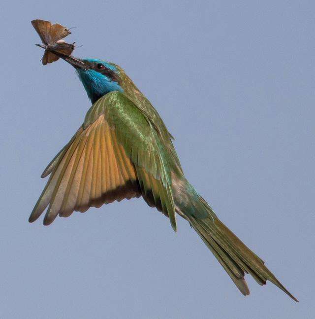 Gambella-Green-Bee-Eater-Wildmoz.com