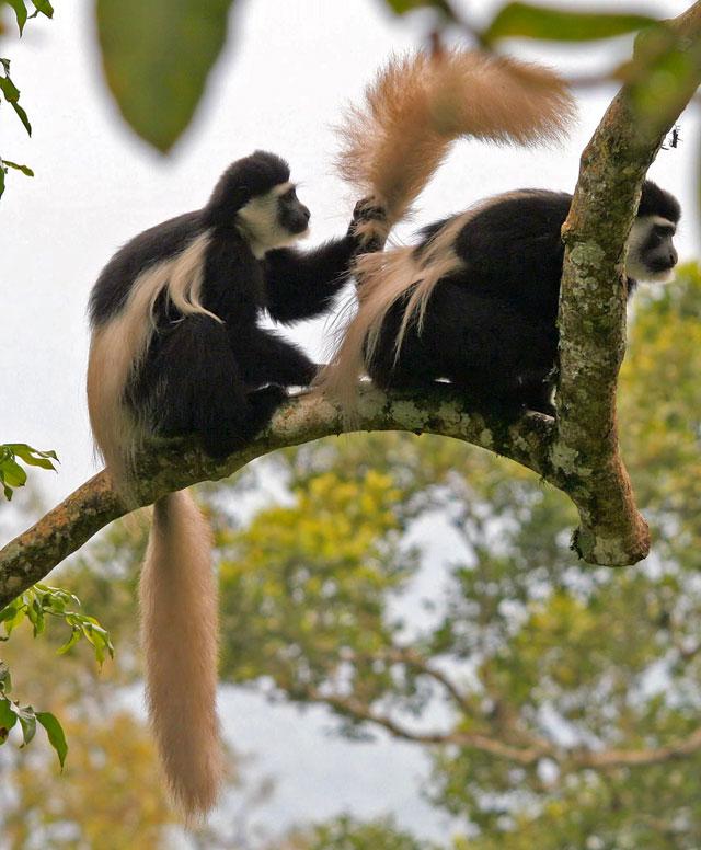 Gambella-Guereza-Monkey-Wildmoz.com