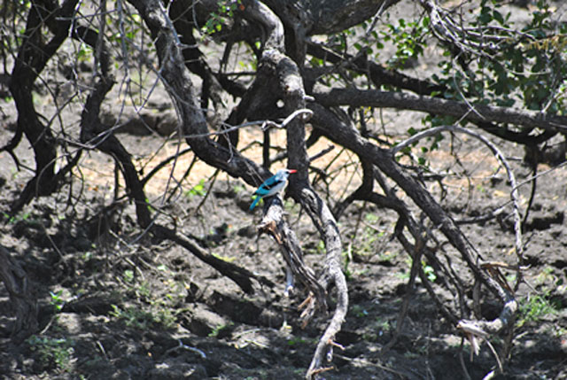 Kruger-Tragedy-kingfisher-dry-pond-Wildmoz.com
