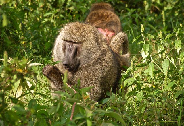 Olive-Baboon-Gambella-Wildmoz.com