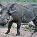 African Wild Warthog