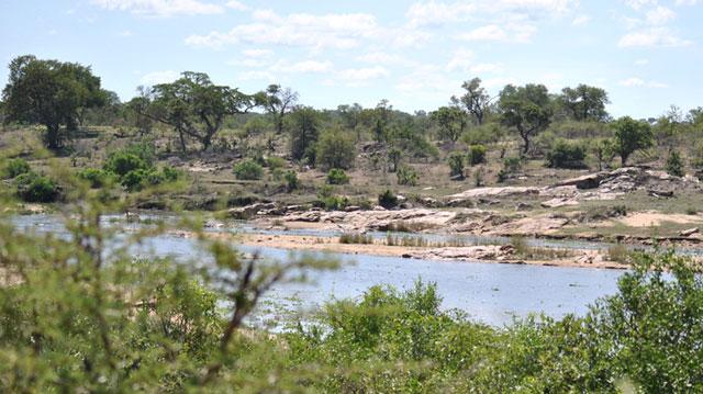 Crocodile-river-running-drinking-water-Wildmoz.com