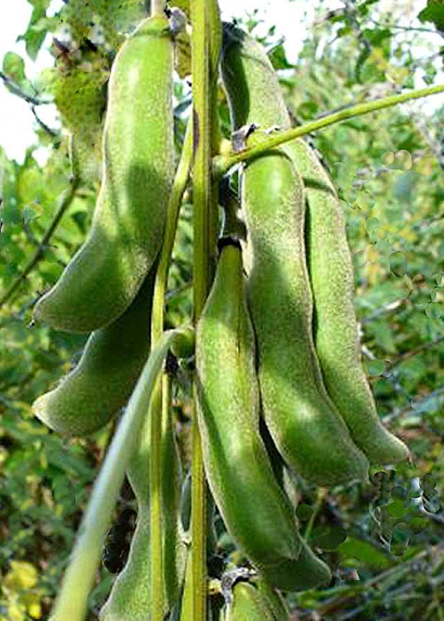 Green-Velvet-Bean-Pods-Mucuna-Pruriens-Wildmoz.com