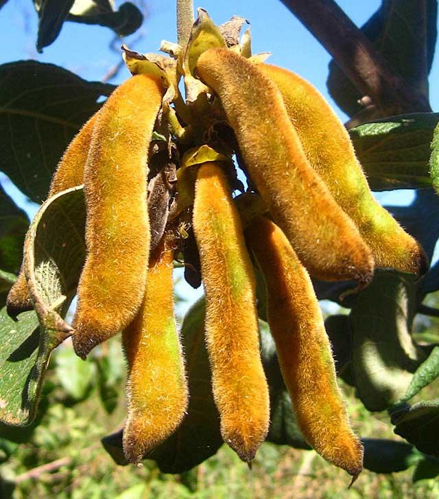 Ripe-Velvet-Bean-Pods-Mucuna-Pruriens-Wildmoz.com