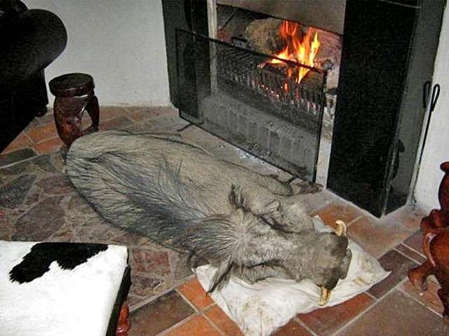 wild-warthog-sleeping-by-fire-wildmoz.com