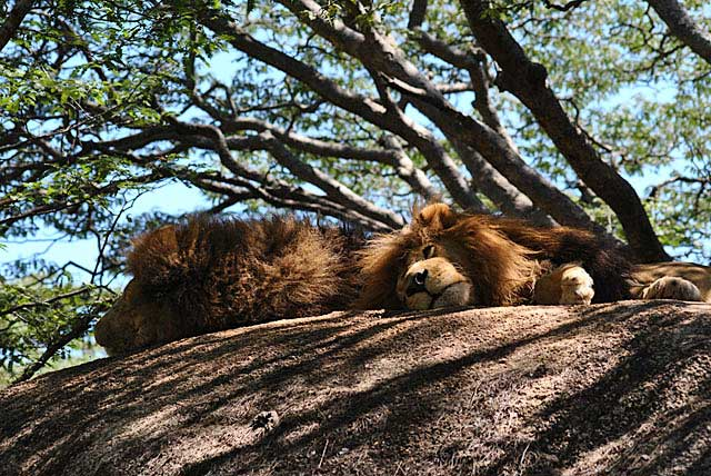 Wild-Explorations-Teddy-Bear-Lions-on-a-Rock-Wildmoz.com