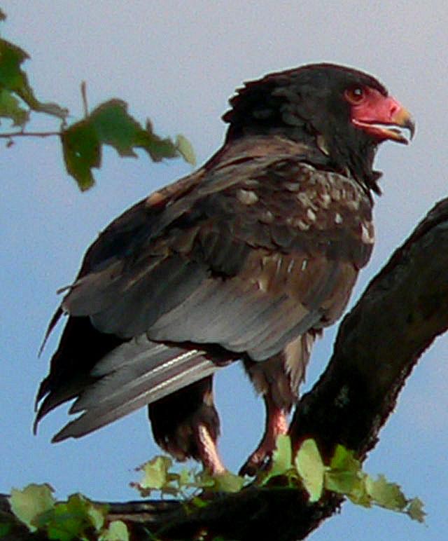 bateleur-eagle-wildmoz.com
