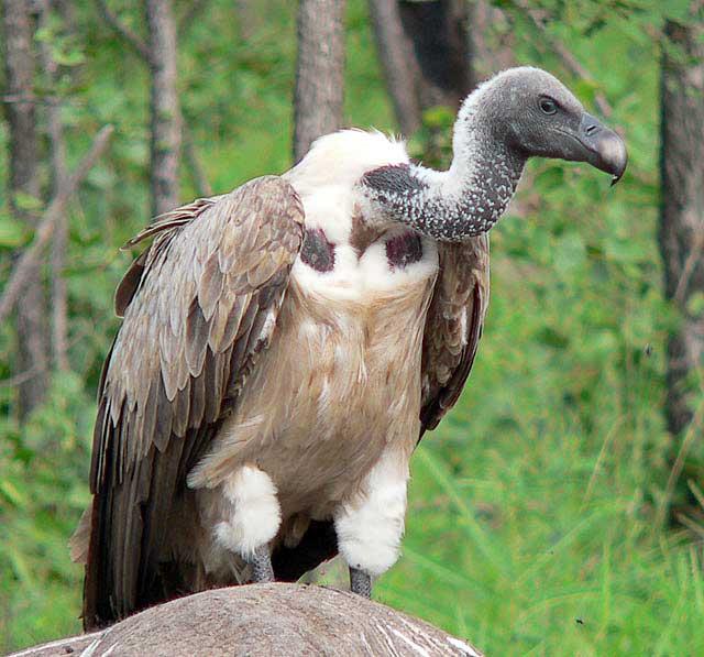 Cape-Vulture-Wildmoz.com