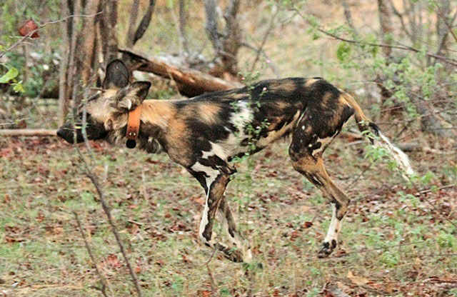 African-wild-dog-Flame-'Tripod'-After-Surgery-Wildmoz.com