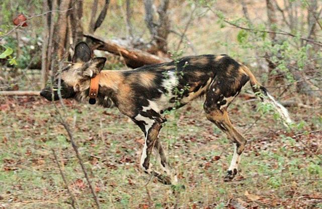African-wild-dog-Flame-'Tripod'-After-Surgery-Wildmoz.com