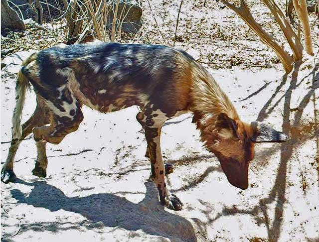 African-wild-dog-Flame-With-a-Broken-Leg-Wildmoz.com