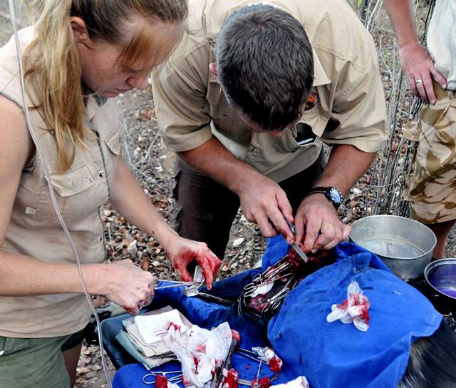 Leatherman-file-still-repairing-wild-dog-leg-Wildmoz.com