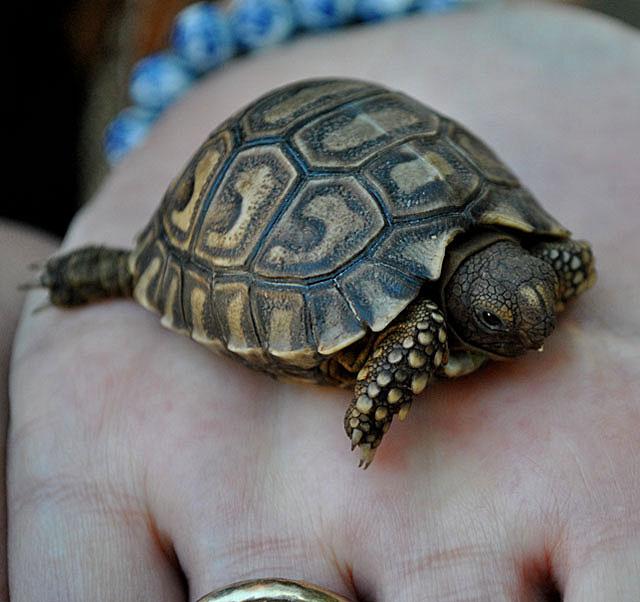 Leopard-Tortoise-Baby-Wildmoz.com