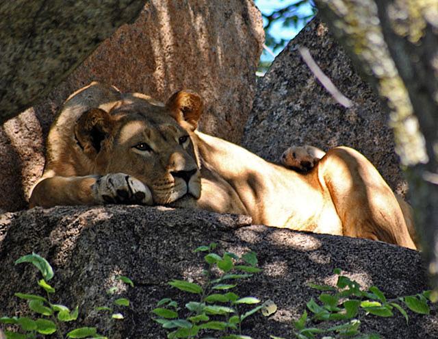 Lioness-on Rocks-Lion-Cheetah-Park-Wildmoz.com