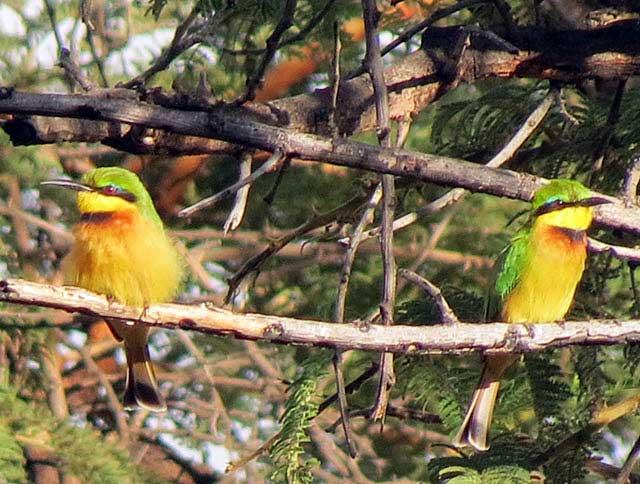 Little-Bee-eater-Wildmoz.com